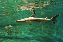 Blacktip reef shark Royalty Free Stock Photos