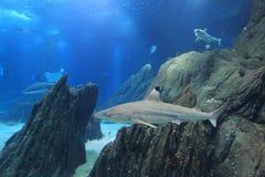 Blacktip reef shark. Floating in water Royalty Free Stock Photo