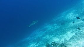 Blacktip reef shark hunting on bottom coral reef.  stock video