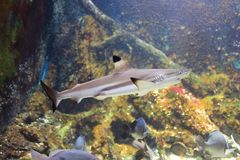 Blacktip reef shark. The image of the blacktip reef shark in the aquarium Royalty Free Stock Photography
