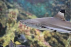 Blacktip reef shark. The image of the blacktip reef shark in local aquarium Stock Photography