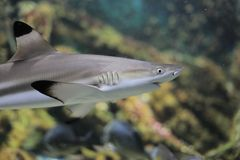 Blacktip reef shark. The blacktip reef shark is a species of requiem shark, in the family Carcharhinidae, easily identified by the prominent black tips on its Stock Photos