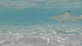 Blacktip reef shark swimming in shallow water stock footage