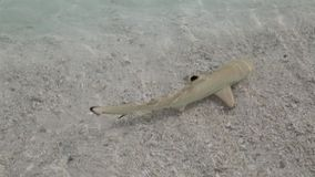 Blacktip reef shark swimming in shallow water stock video