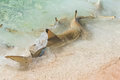 Blacktip reef shark. Swimming on the shore and fighting for food, remora fish on its back stock image