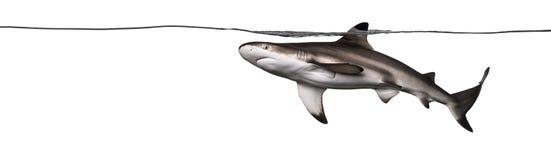 Blacktip reef shark swimming Royalty Free Stock Images