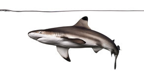 Blacktip reef shark swimming under water line,. Carcharhinus melanopterus, isolated on white Stock Photos