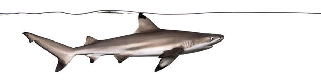Blacktip reef shark swimming under water line Stock Image