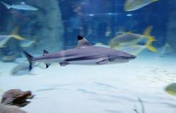 Blacktip reef shark . stock photography