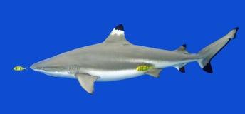 Blacktip Reef Shark with yellow Pilot Fish. Blacktip Reef Shark, Carcharhinus melanopterus, with yellow Pilotfish, Gnathanodon speciosus Stock Images