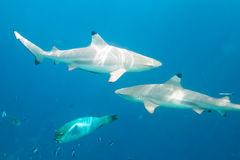 Blacktip reef sharks Royalty Free Stock Photo