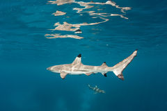 Blacktip Reef Sharks in the Solomon Islands Royalty Free Stock Photography
