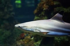 Blacktip Reef sharks swimming in tropical waters over coral reef.  Royalty Free Stock Images