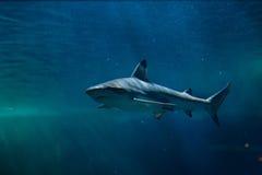 Blacktip revhaj & x28; Carcharhinusmelanopterus& x29; royaltyfri fotografi