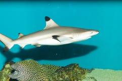 Blacktip revhaj i akvarium Fotografering för Bildbyråer