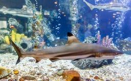 Blacktip revhaj i behållare på akvariet i korallbakgrund royaltyfri fotografi