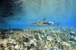 Blacktip revhaj med pilotfishen arkivfoton