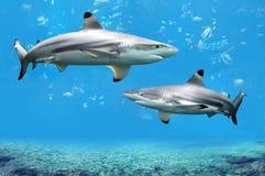 Blacktip Riff-Haifische, die im tropischen Wasser schwimmen Stockfotos