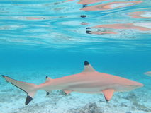 Blacktip Shark Stock Photography