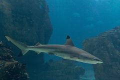 Blacktip shark. (Carcharhinus limbatus) in Lisbon Oceanarium royalty free stock photo