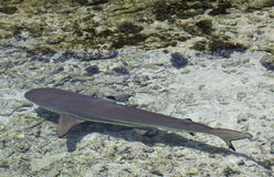 Blacktip shark Royalty Free Stock Photo