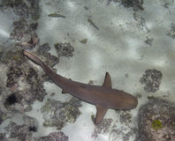 Blacktip shark Stock Images