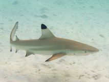 Blacktip shark. Full view of a young blacktip shark in Bora Bora, Polynesia Royalty Free Stock Photos