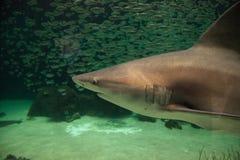 Blacktip shark Carcharhinus limbatus swims. Along a coral reef in the tropics stock photo