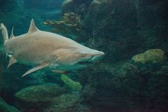 Blacktip shark Carcharhinus limbatus swims. Along a coral reef in the tropics stock images