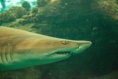 Blacktip shark Carcharhinus limbatus swims. Along a coral reef in the tropics stock image