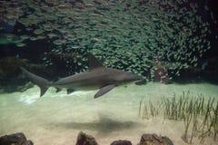 Blacktip shark Carcharhinus limbatus swims. Along a coral reef in the tropics royalty free stock photo
