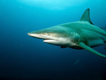 Blacktip Shark closeup royalty free stock photos