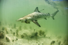 Blacktip Shark on a lure Royalty Free Stock Photography