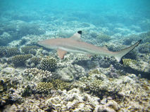 Blacktip shark in maldives Royalty Free Stock Photos