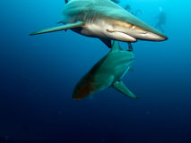 Blacktip sharks. Black tip sharks (Carcharhinus limbatus) circling divers in the Indian Ocean, off the east coast of South Africa stock photography