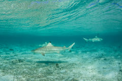 Blacktip Sharks 1. Blacktip reef sharks swim in the shallows of Bora Bora's beautiful lagoon in French Polynesia. Bora Bora is one of the most beautiful tropical stock image