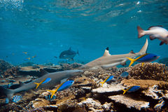 Blacktip and whitetip sharks. Coral reef in Pacific ocean with blacktip and whitetip sharks and fish royalty free stock photos