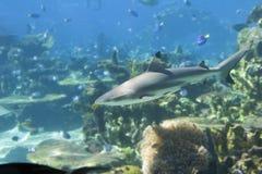 Blacktip2. Blacktip Reef Shark (Carcharhinus melanopterus stock images