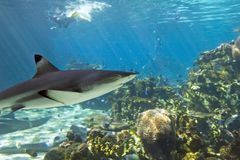 Blacktip2 Royalty Free Stock Images