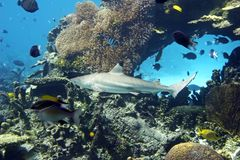 BlacktipShark. Blacktip Reef Shark swimming over fish filled reef Royalty Free Stock Images
