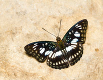 The Blackvein Sergeant butterfly Stock Photography