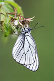 Blackveined thorn butterfly (Aporia crataegi) Stock Images