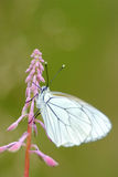 Blackveined thorn butterfly on rose-bay Stock Photography