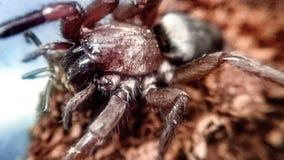 Blackwalli de Scotophaeus - araignée de souris Photos libres de droits
