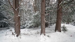 Blackwater State Park trees in snow Royalty Free Stock Photo