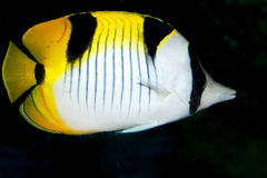 Blackwedged Butterflyfish (Chaetodon falcula) Royalty Free Stock Photo