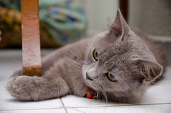 Blackwood Cat Pose Stock Photography