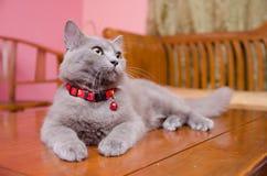Blackwood Cat Pose Royalty Free Stock Photos