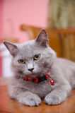 Blackwood Cat Pose. Close-Up view of a blackwood cat posing on table Royalty Free Stock Image