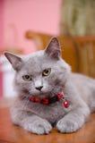 Blackwood Cat Pose Royalty Free Stock Image
